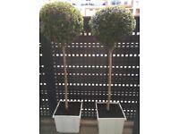 Buxus lolipop for sale