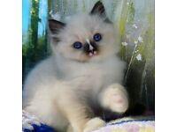 Ragdoll x Doll Face Persian kittens