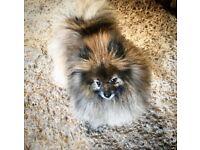 Pomeranian x girl ready now