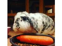 Lovely 3 year old French Lop rabbit