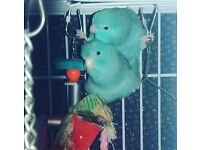 2 Parrotlets for sale with cage and toys.