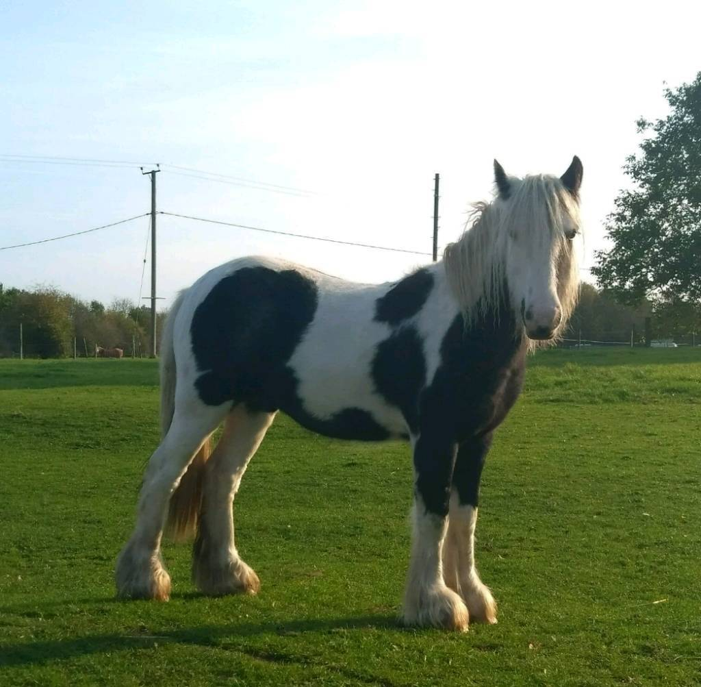 16 month old , black and white coloured colt