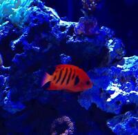 For sale flame angelfish