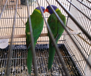 Breeding Pair of Rainbow Lorikeets with Free Cage Liverpool Liverpool Area Preview