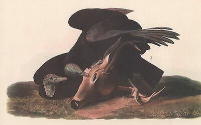 "JAMES AUDUBON 1937 Book Print ""BLACK VULTURE"" Birds of America Painting"