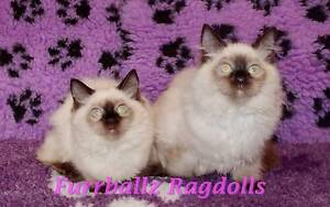 STUNNING Pedigree Ragdoll Kittens Available Dandenong Greater Dandenong Preview