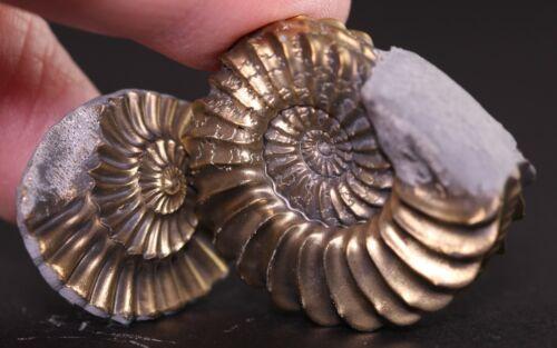 Fossil Ammonite Pleuroceras Pyrite Positive Negative Fits Together! Germany COA
