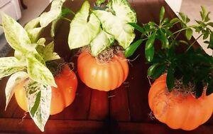 Pumpkin plants fall decoration