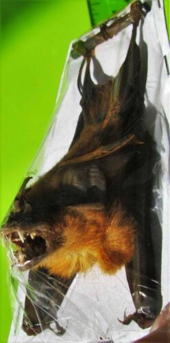 Real Bicolored Roundleaf Bat Hipposideros bicolor Hanging Back FAST FROM USA