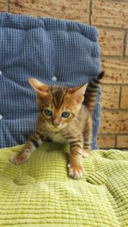 Pedigree Toyger Kittens Penrith Penrith Area Preview