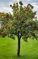 Wanted: apple tree branches
