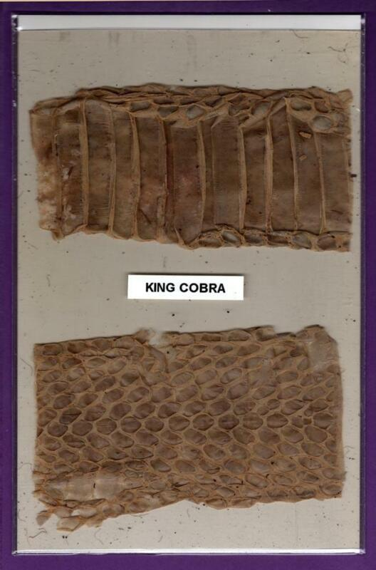 Two Pieces Genuine King Cobra Shed Snake Skin Swatches Rare Exotic Oddity Crafts