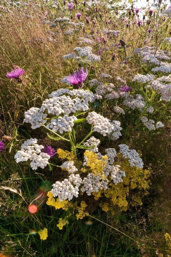 6000 Samen Achillea Millefolium Schafgarbe Wilde Blume