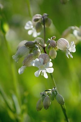 White Campion 500 Seeds Wildflower Seeds