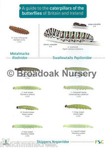 Laminated-Field-Guide-to-CATERPILLARS-OF-BUTTERFLIES