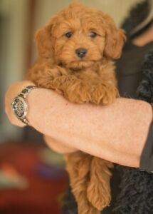 Cavoodle puppy red male DNA tested Health Guarantee