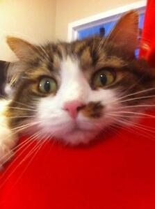 LOST! Long Haired Male Cat (White,Brown &Dark Grey)