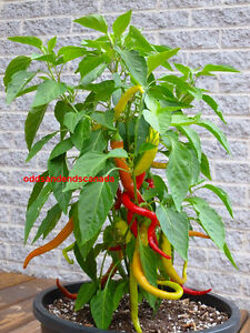 TURKISH-CORBACI-PEPPER-RARE-SWEET-PRODUCTIVE-50-25-SEEDS