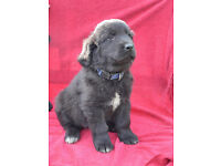 NEWFOUNDLAND GIRLS - LAST OF LITTER LOOKING FOR NEW HOMES