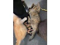 Beautiful BSH cross point kittens