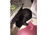 Two rabbits and all accessories (bonded pair) lionhead and lop
