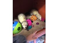 Baby ferrets with cage