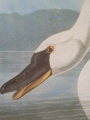 Whistling Swan Audubon Bird Plate Picture Print Art