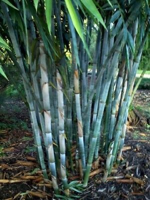 50 Rare Blue Bamboo Seeds Privacy Plant Garden Clumping Exotic Shade Screen (Bamboo Blue)