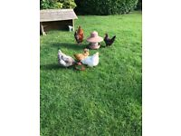 5 Happy Freedom-Loving Chickens for sale