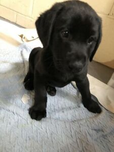 BLACK LAB PUPPY PURE BREED FOR SALE *NEED GONE ASAP*