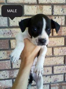 staffy x boxer pups Collie Collie Area Preview