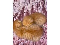 2 Boy Ginger Kittens Leopard Print Marks Half Tortoise Half Ginger Bengal