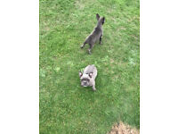 Blue french bulldogs looking for forever homes