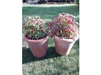 2 x Tuscan Garden Terracotta Pre-planted Pots Evergreen Nandina Firepower