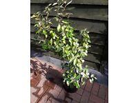 3-4ft Evergreen ELEAGANUS SHRUB Green & Gold. Hardy. 3 available
