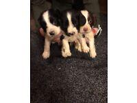Cavillers puppys