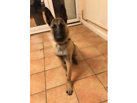 Dutch Shepherd-6 month puppy, with large crate