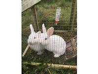 2 New Zealand white rabbits