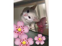 Beautifully petite white cat bright blue eyes