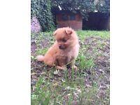 Beutiful Pomeranian puppy
