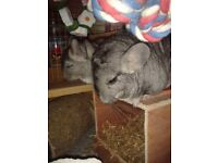 Pair of male, bonded Chinchillas for sale, aged 5 and 4 years old. Two storey cage included.