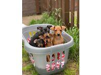 Gorgeous Miniature Pin Puppies