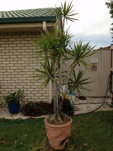 DRACEANA IN BEAUTIFUL WITH POT . Forest Lake Brisbane South West Preview