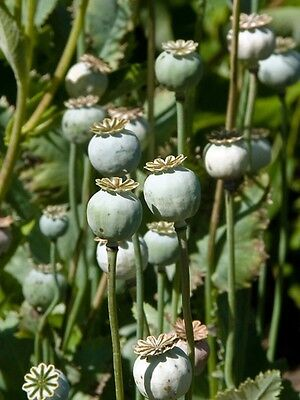 Five Pounds Unwashed Blue Poppy Seeds Papaver Somniferum Bulk Afghan Organic