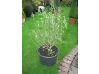 1M tall multibranched OLIVE TREE. 20Litre pot. ME19, Kent.