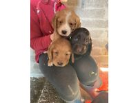 KC Reg'd Cocker Spaniel Pups