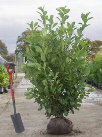 Mature Laurel hedging plants 5ft