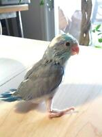 Yellow (Green) Pied, Blue Pied, Albino, Turquoise Parrotlets