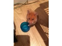 Lovely Syrian female hamster requires loving home