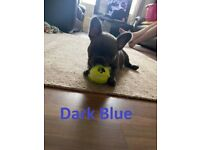 Blue Brindle/Lilac Fawn French Bulldogs For Sale